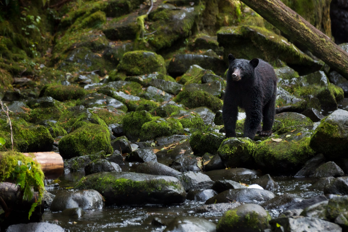 bear in British Columbia